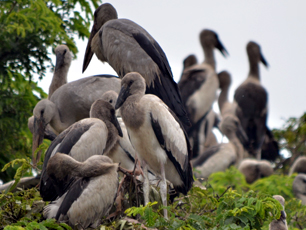 Kendua Migrating Birds
